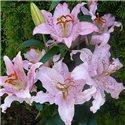 Лилия восточный гибрид Curley Sue 1 луковица