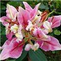 Лилия попугайная Parrot Pink Cariba 3 луковицы