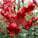 Лилия тигровая Red Velvet 3 луковицы