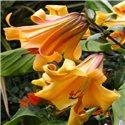 Лилия трубчатая African Queen мелкая луков. 2 шт.