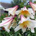 Лилия трубчатая Regale мелкая луков. 2 шт.