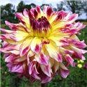 Георгина крупноцветковая декоративная Zoey Rey