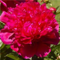 Пион травянистый Red Sarah Bernhardt (Fiona)