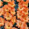 Гладиолус крупноцветковый Flame 5 луковиц