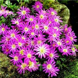 Анемона Blanda Violet Star