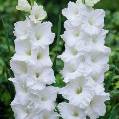 Гладиолус крупноцветковый Mount Victoria 5 луковиц