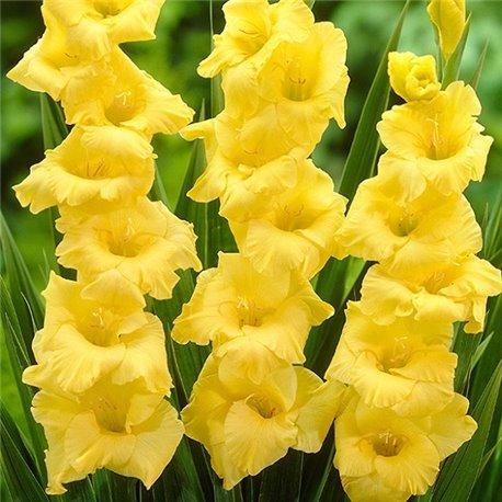 Гладиолус крупноцветковый Mozart 5 луковиц
