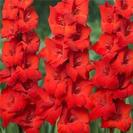 Гладиолус крупноцветковый Oscar 5 луковиц