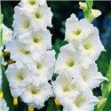 Гладиолус крупноцветковый White Friendship 5 луковиц