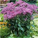 Посконник maculatum Purple Bush