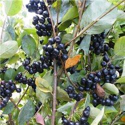 Аронія чорноплідна Вікінг Aronia prunifolia 'Viking'