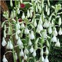 Галтония белая Galtonia Candicans 1 луковица