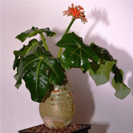 Ятрофа подагрическая Jatropha podagrica (бутылочное дерево)