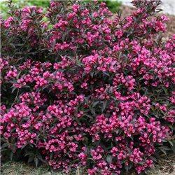Вейгела пурпурнолистная Weigela florida Nana Purpurea