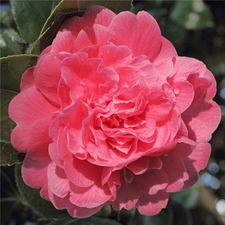 Камелия японская Camellia j. Triumphans