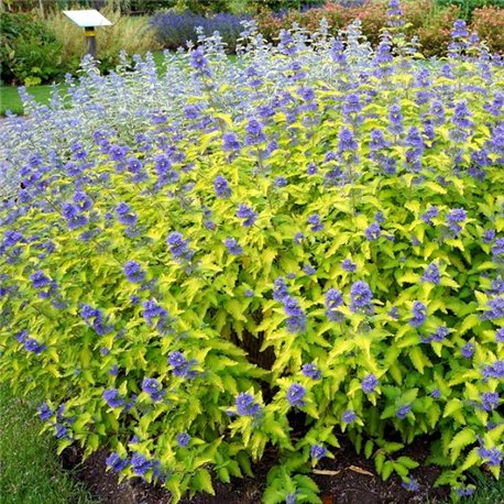 Кариоптерис Caryopteris cland. Hint of Gold