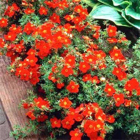 Лапчатка кустарниковая Potentilla f. Red Joker