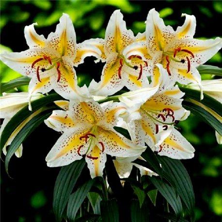 Лилия ориентальная низкая Auratum Gold Band 1 луковица