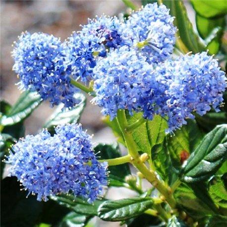 Цеанотус Ceanothus Blue Mound