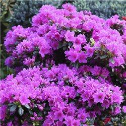 Рододендрон Geisha Purple
