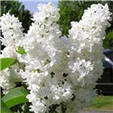 Сирень Syringa v. Miss Ellen Willmott