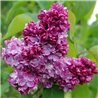 Сирень Syringa v. Paul Thirion