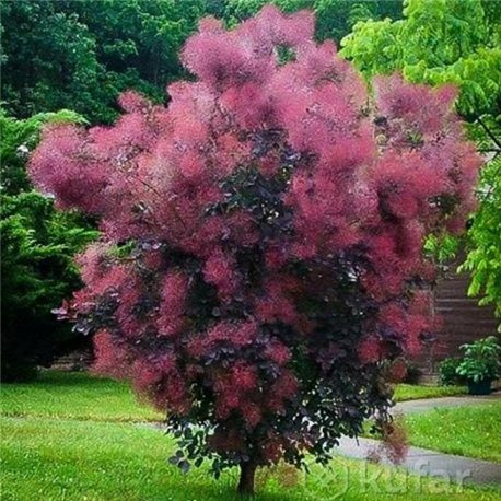 Скумпия кожевенная Cotinus coggygria Royal Purple
