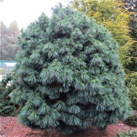 Сосна Гималайская Pinus wallichiana