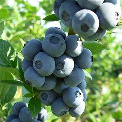 Голубика Vaccinium cor. Brigitta Blue