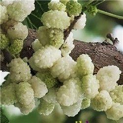 Шелковица садовая Morus alba