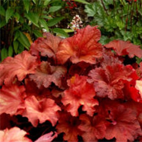 Гейхера Heuchera Galaxy