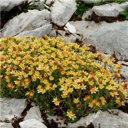 Камнеломка желтая Saxifraga arendsii