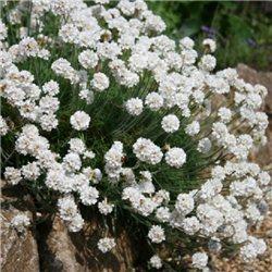 Армерія Приморська Armeria maritima white
