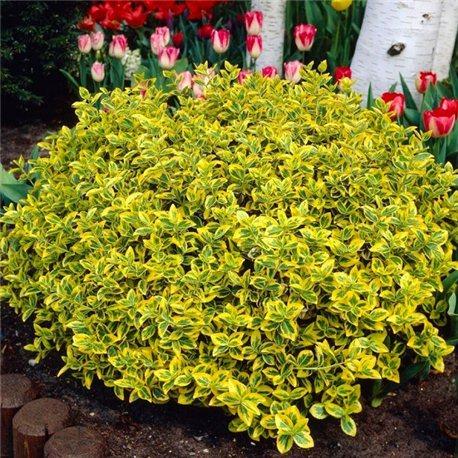 Бересклет Форчуна Euonymus fortunei Emerald Gold