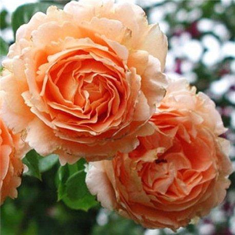 Роза парковая Polka (Полька)