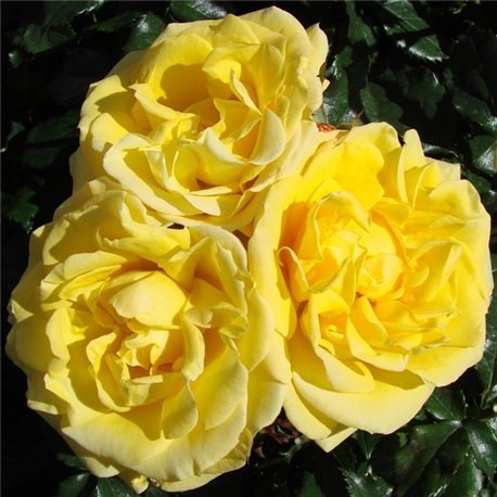 Роза полиантовая Arthur Bell (Артур Белл)