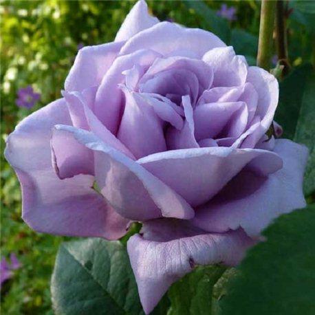 Роза чайно-гибридная Blue Moon (Блю Мун)