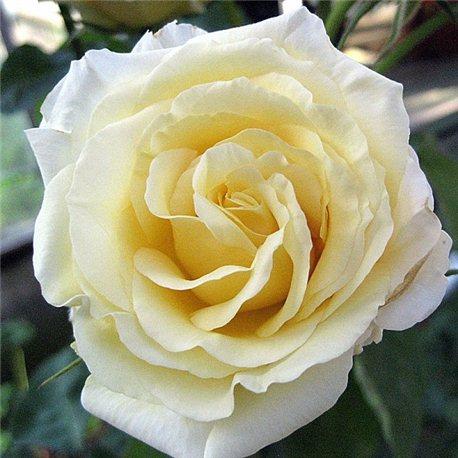Роза чайно-гибридная Chopin (Шопен)