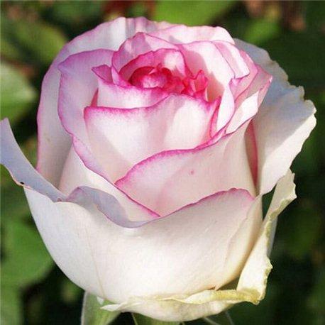Роза чайно-гибридная Dolce Vita (Дольче Віта)