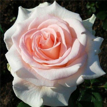 Роза чайно-гибридная Vivaldi (Вівальді)