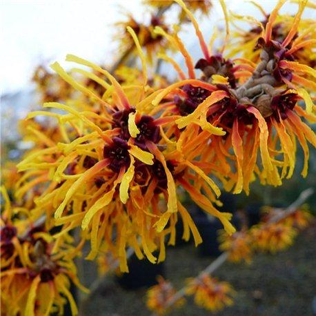 Гамамелис Orange Beauty