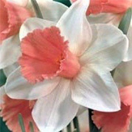 Нарцисс крупнокорончатый Park Perfume 1 луковица