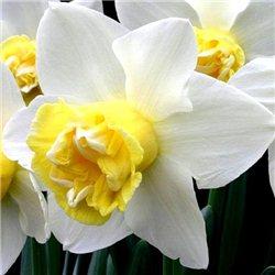 Нарцисс махровый Popeye 1 луковица