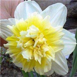 Нарцисс махровый Ice King 1 луковица