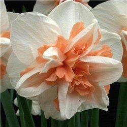Нарцисс махровый Replete 1 луковица