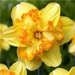 Нарцисс сплит-корона Blazing Starlet 1 луковица