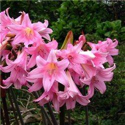 Амариллис Belladonna 1 луковица