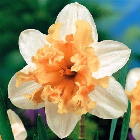 Нарцисс сплит-корона Palmares 1 луковица