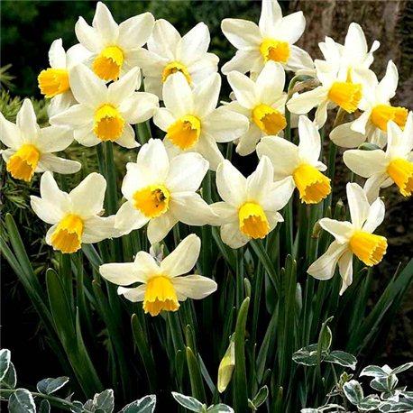 Нарцисс батанический Jack Snipe 5 луковиц