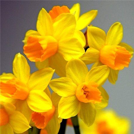 Нарцисс батанический Jetfire 5 луковиц